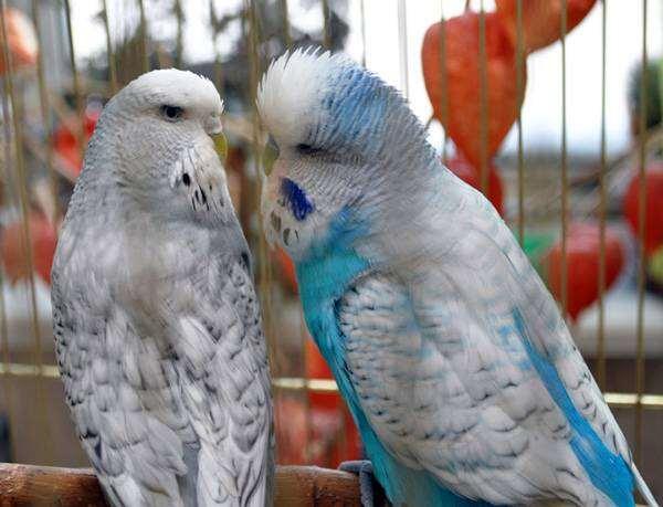 Волнистые попугаи чехи, фото птицы, фотография попугаи