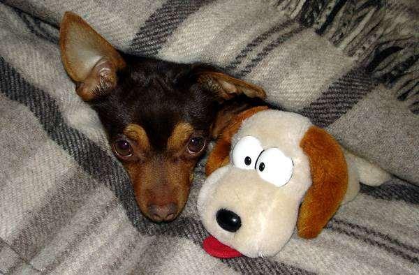 Русский той-терьер, фото собаки, фотография породы собак