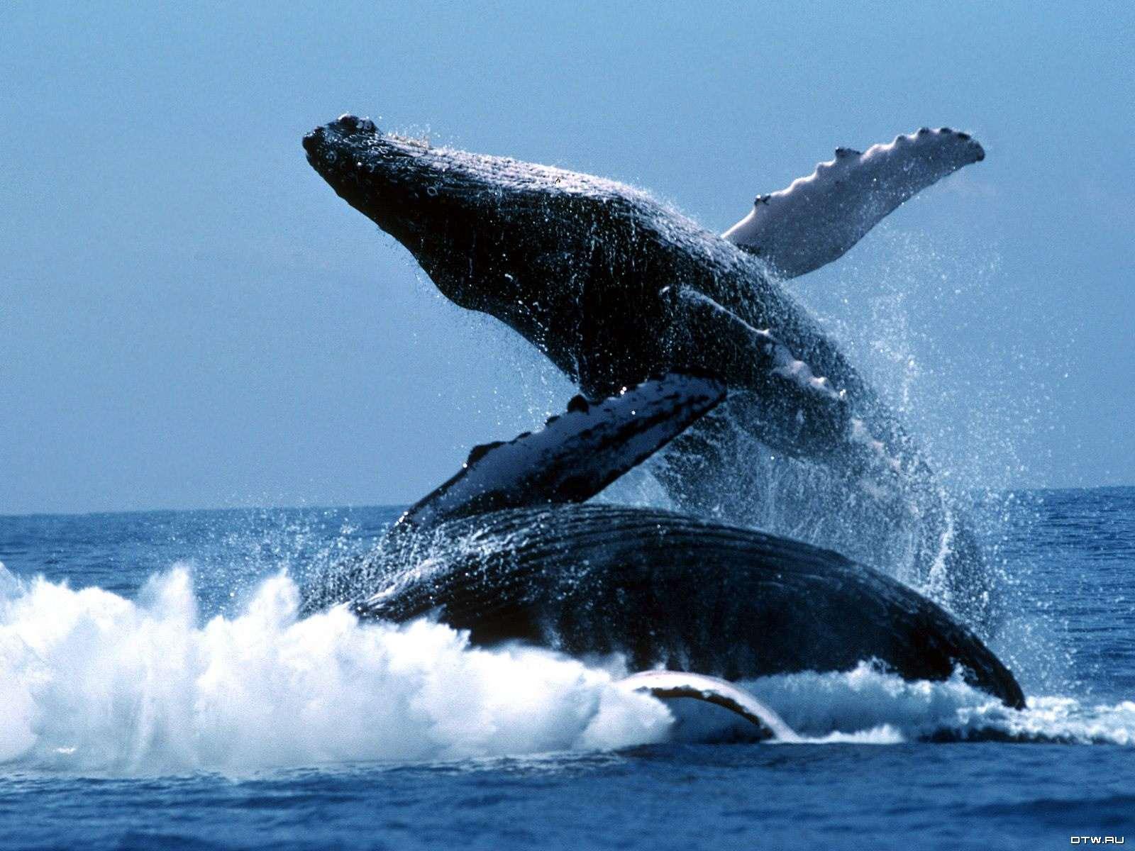 Горбатый кит (Megaptera novaeangliae), фото морские животные фотография