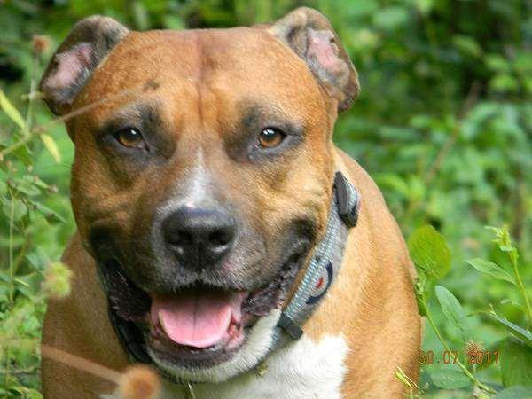 Американский стаффордширский терьер, стаффорд, стафф, фото собаки, фотография породы собак