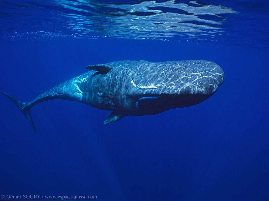 Кашалот (Physeter catodon), фото киты фотография