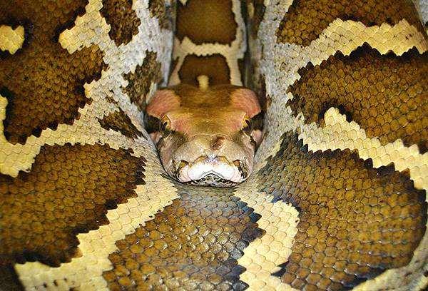 Тигровый цейлонский питон (Python molurus pimbura), фото змеи, фотография рептилии пресмыкающиеся