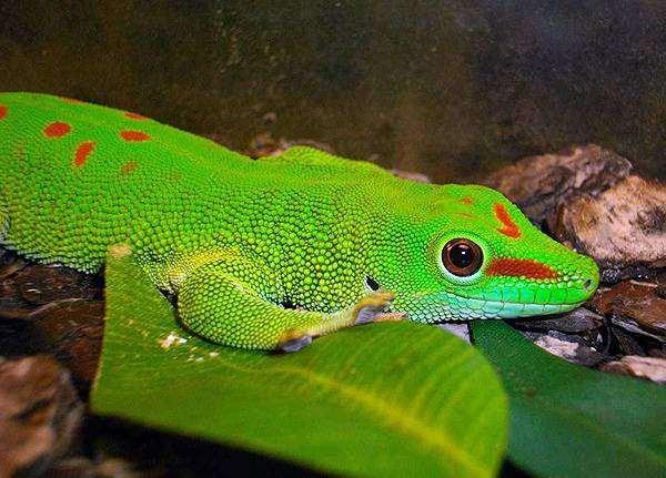 Дневной мадагаскарский геккон (Phelsuma madagascariensis), фото ящерицы, фотография рептилии