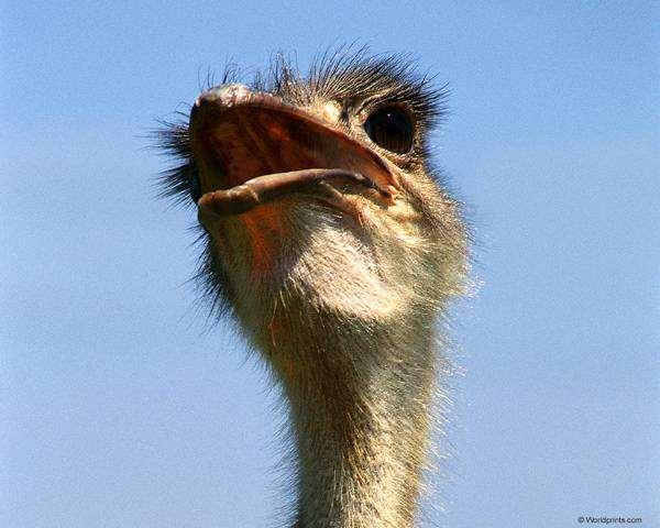 Страус (Struthio camelus), фото новости о животных фотография птицы