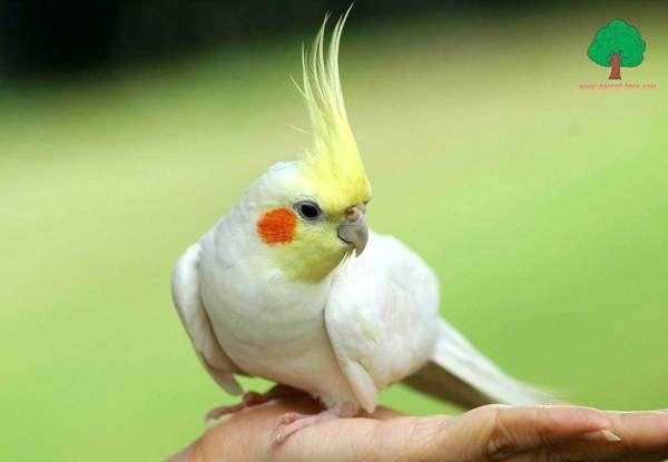 Попугай корелла карела корела, фото новости о животных птицы фотография