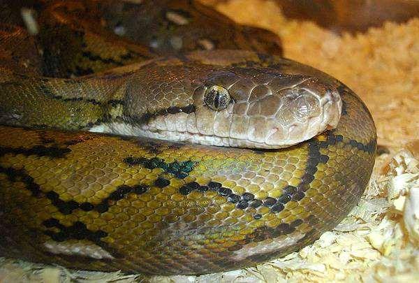 Питон сетчатый каяди (карликовый) (Python reticulatus Kayuadi), фото рептилии, фотография змеи