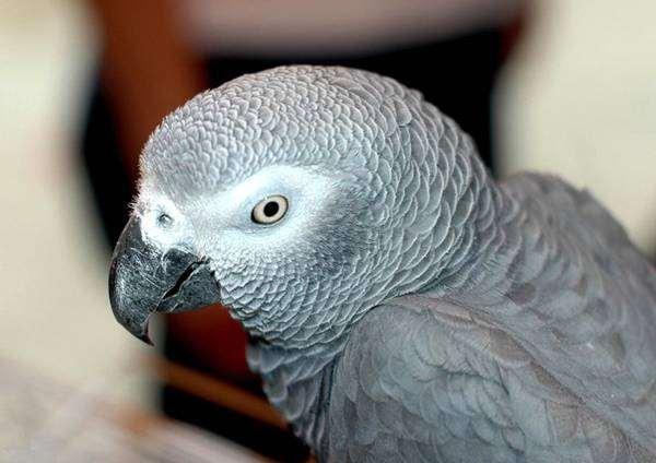 Серый попугай, или жако (Psittacus erithacus), фото новости о животных птицы фотография