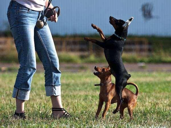 Карликовые пинчеры, фото новости о животных собаки фотография