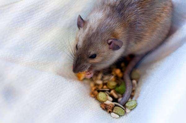 Декоративная крыса что-то ест, фото новости о животных грызуны фотография