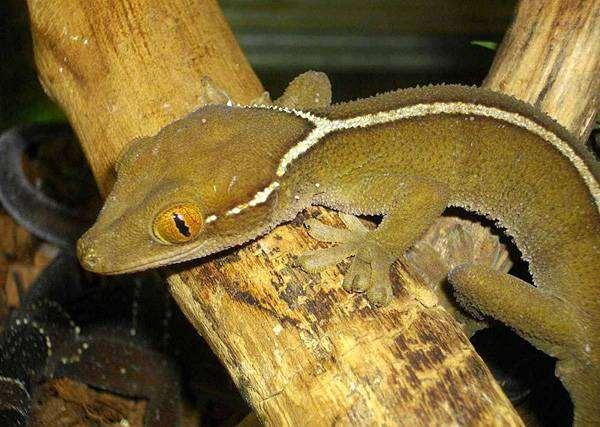 Полосатый геккон (Gekko vittatus), фото ящерицы, фотография рептилии