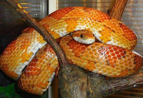 Маисовый полоз (Elaphe guttata), фото рептилии, фотография змеи