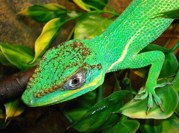 Анолис-рыцарь (Anolis equestris), фото рептилии, фотография ящерицы