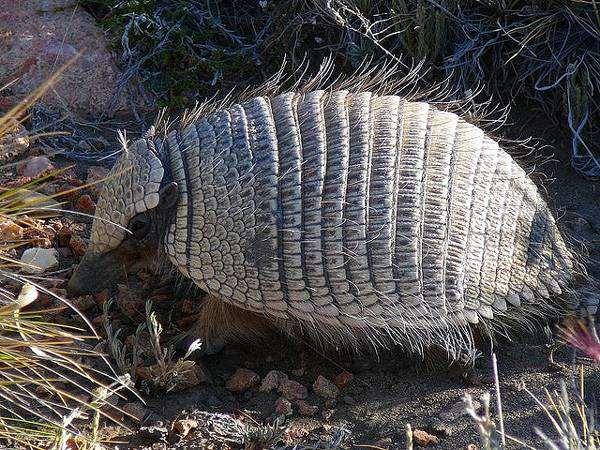 Карликовый броненосец, щетинистый броненосец (Zaedyus pichiy), фото неполнозубые животные фотография