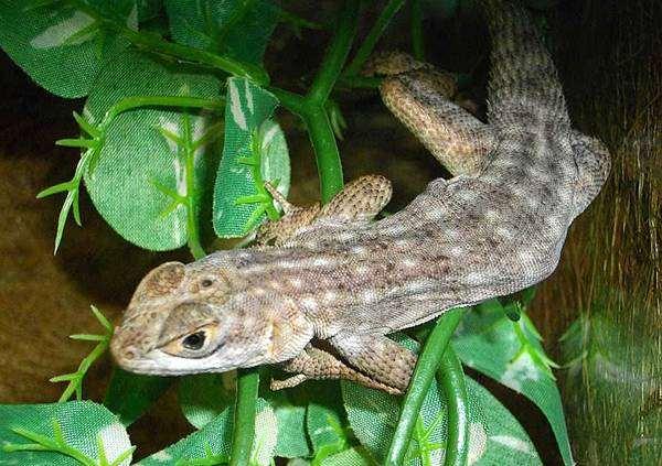 Полосатая мадагаскарская игуана (Oplurus quadrimaculatus), фото рептилии, фотография ящерицы
