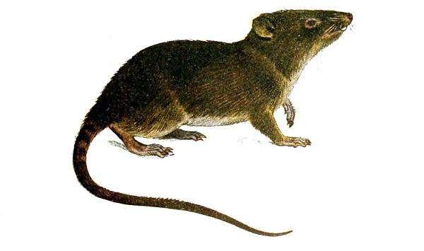 Эквадорский ценолест (Caenolestes fuliginosus), рисунок картинка сумчатые животные