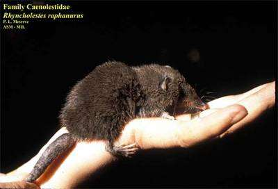 Чилийский ценолест (Rhyncholestes raphanurus), фото сумчатые животные фотография