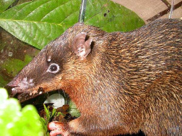 Толстоголовый бандикут (Echymipera rufescens), фото сумчатые животные фотография