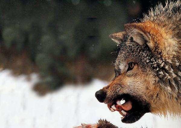 Оскаленный волк (Canis lupus), фото новости о животных хищники фотография