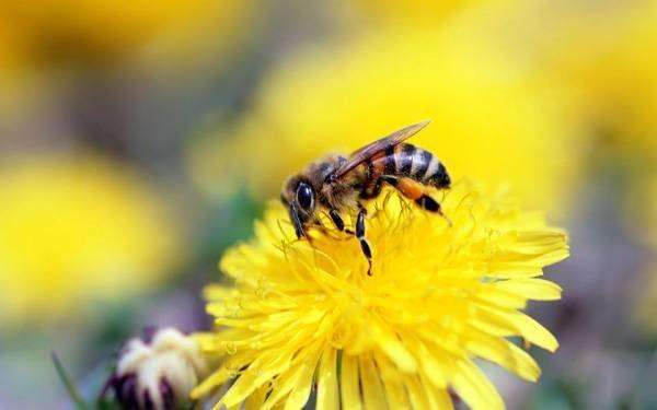 Медоносная пчела на одуванчике, фото новости о животных насекомые фотография