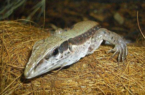 Амейва обыкновенная, или зеленая (Ameiva ameiva), фото ящерицы, фотография рептилии