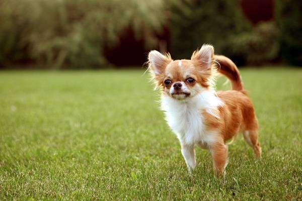Длинношерстный чихуахуа, фото собаки, фотография породы собак
