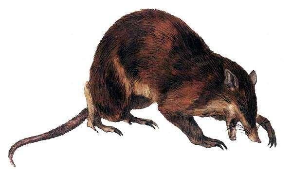 Новогвинейский бандикут (Peroryctes raffrayanus), рисунок сумчатые животные картинка изображение