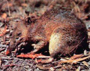 Церамский [серамский] бандикут (Rhynchomeles prattorum), фото сумчатые животные фотография