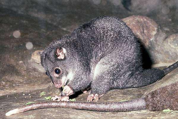 Одноцветный кускус (Phalanger gymnotis), фото сумчатые животные фотография
