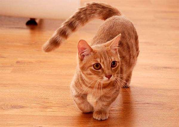 Манчкин, фото кошки, фотография породы кошек