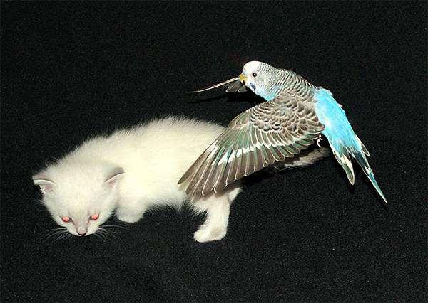 Волнистый попугайчик и котенок, фото птицы, фотография уход и содержание попугаев