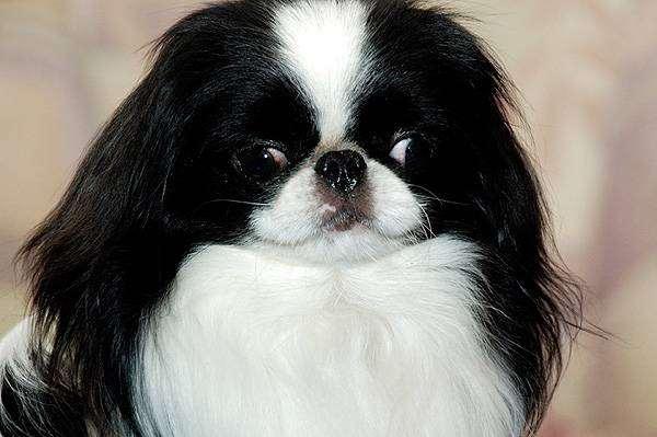 Японский хин, фото породы собак фотография