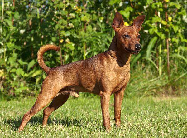 Карликовый миниатюрный пинчер, фото выбор породы собаки фотография