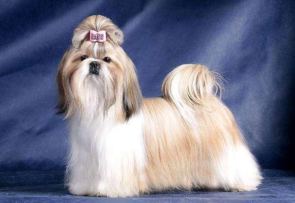 Ши-тцу, шитцу, фото породы собак фотография