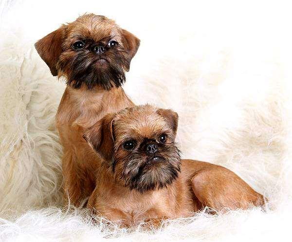 Брюссельские гриффоны, фото выбор породы собачки фотография
