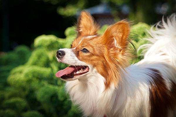 Папийон папильон, фото выбор собачки фотография