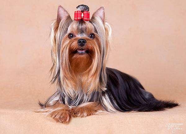 Йоркширский терьер, фото породы собак фотография