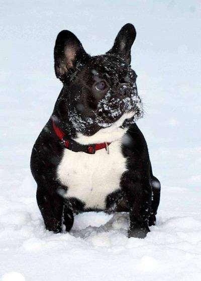 Французский бульдог, фото выбор породы собаки