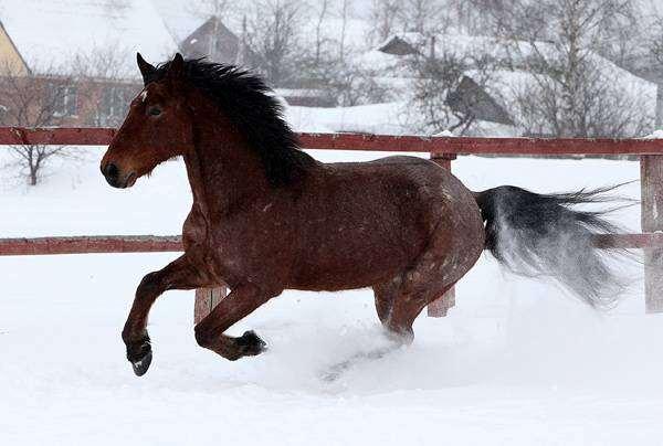 Лошадь бегущая по снегу, фото лошади, фотография содержание лошадей