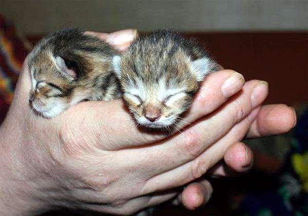 Слепые котята манчкина, фото беременность роды кошки фотография