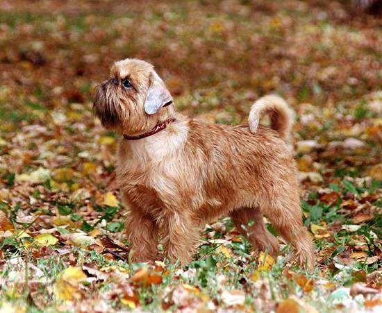 Брюссельский гриффон, породы собак собаки, фото фотография