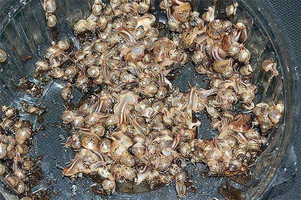 Выводок улиток ахатин, фото беспозвоночные, фотография моллюски