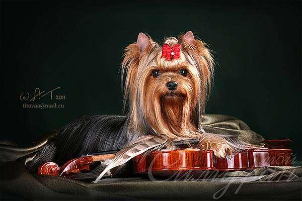 Йоркширский терьер йорк, фото породы собак фотография картинка изображение