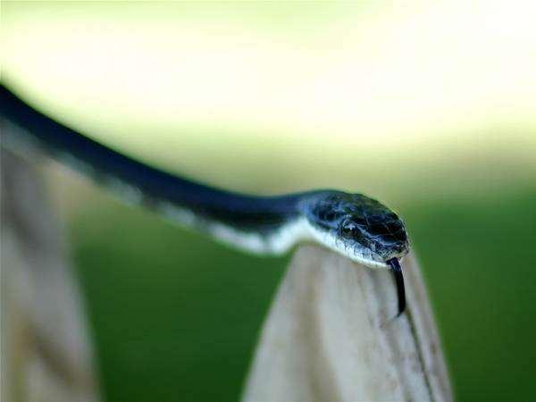Змея с высунутым языком, фото рептилии фотография