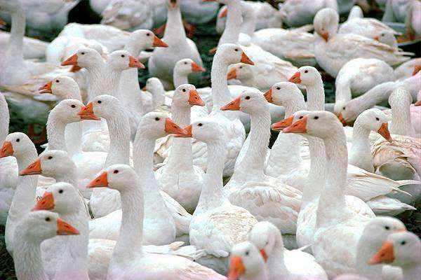 Домашние гуси, фото кормление птиц фотография картинка