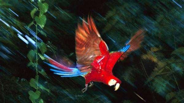 Красный ара, или ара макао (Ara macao), фото кормление попугаев фотография картинка