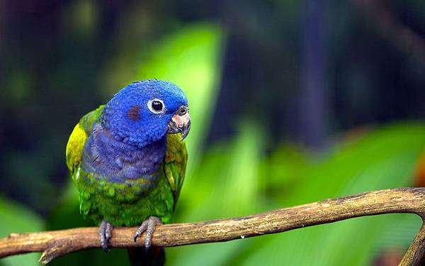 Черноухий попугай, синеголовый попугай (Pionus menstruus), фото птицы фотография картинка