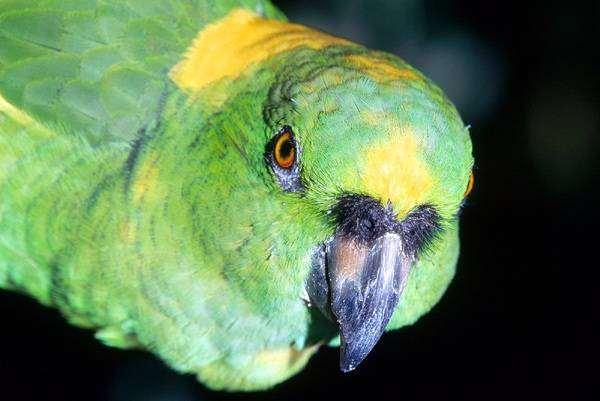 Желтолобый амазон (Amazona ochrocephala), фото птицы фотография картинка