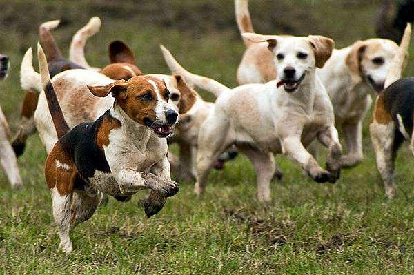 Бигль харьеры фото породы собак
