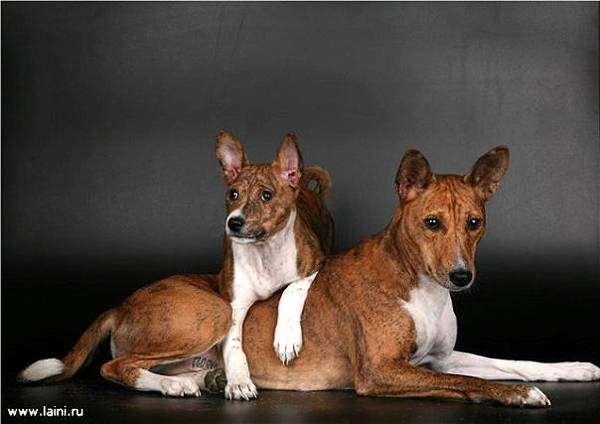 Басенджи, вопросы ответы о собаках породы собак фото фотография изображение