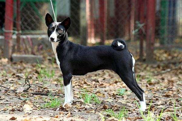 Басенджи, фото породы собак фотография картинка